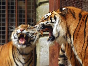 fort_boyard_tigres